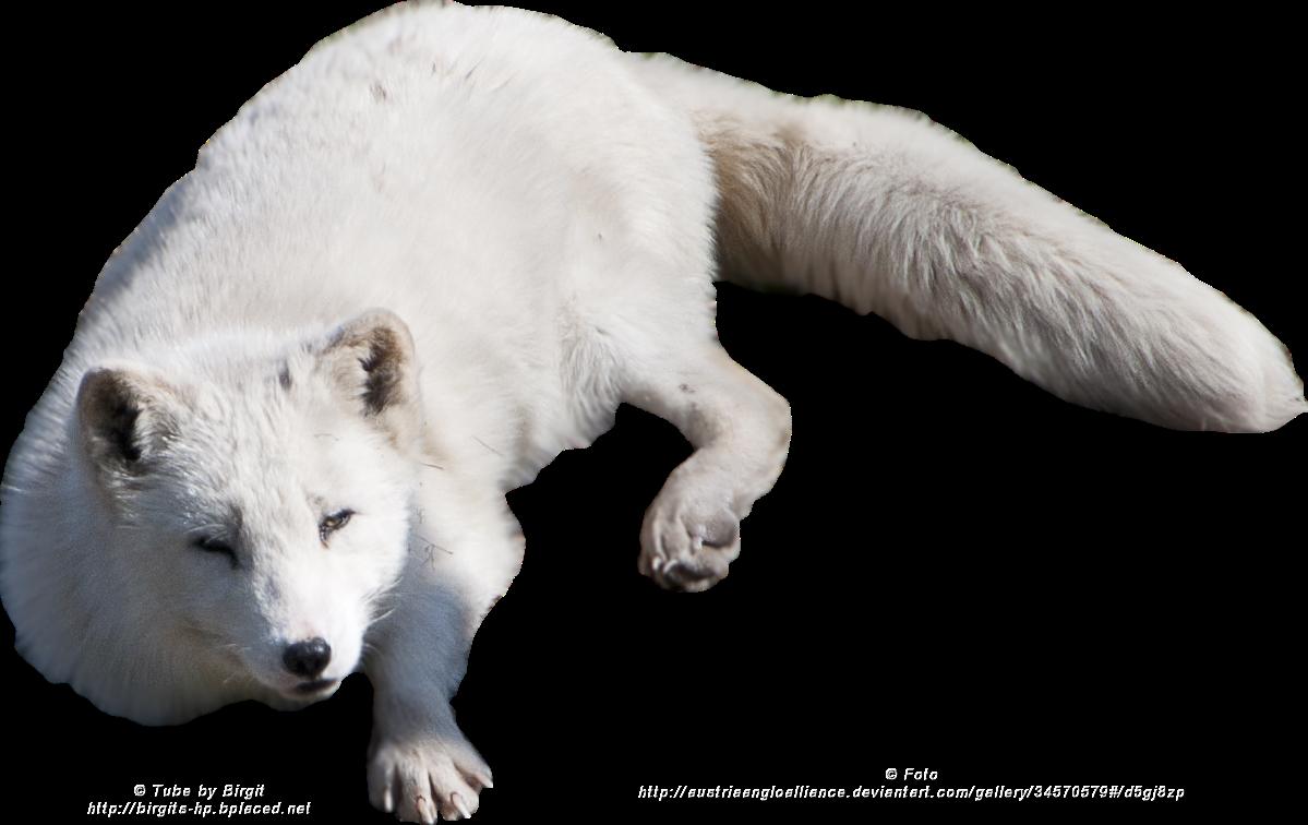 Arctic fox PNG images