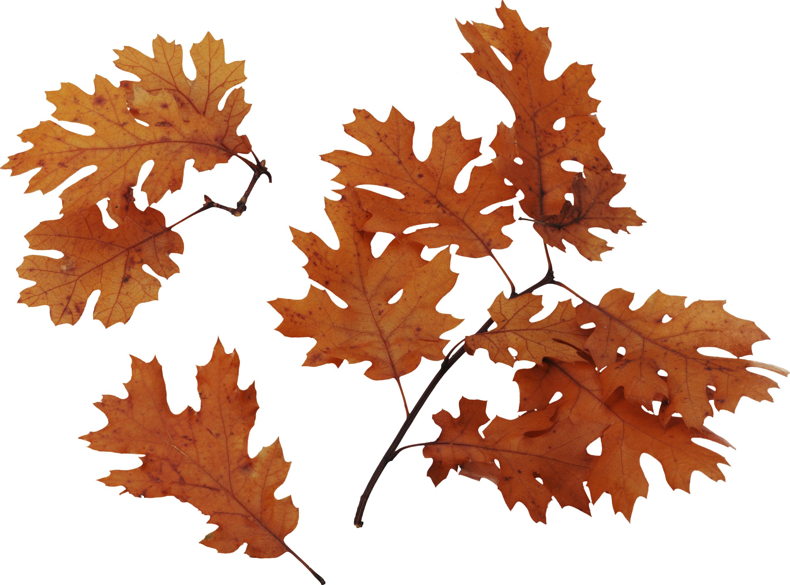 Осенние листья PNG фото