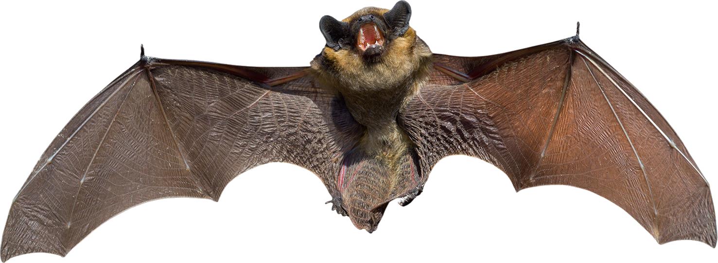 Летучая мышь PNG