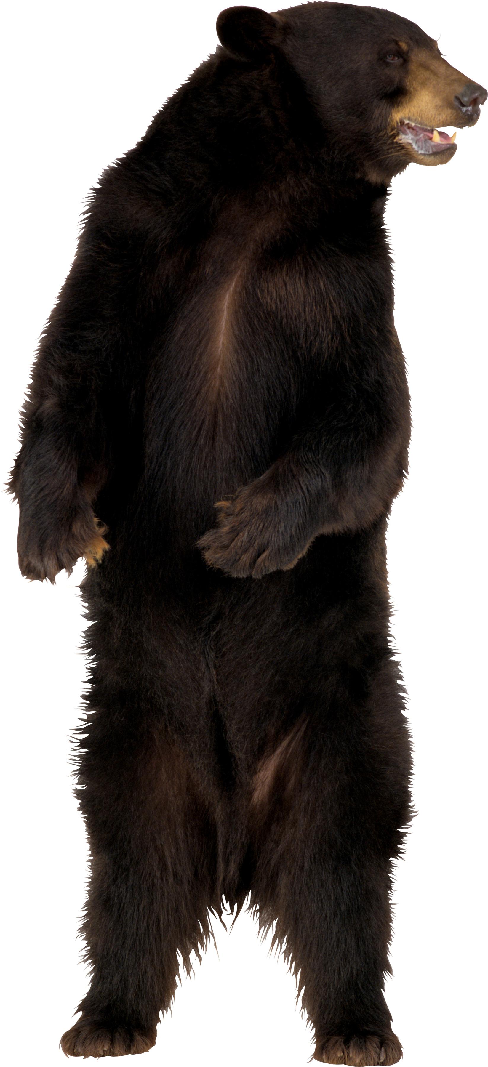 Медведь гризли PNG фото