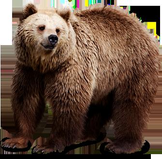 Медведь PNG фото