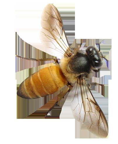 Пчела PNG