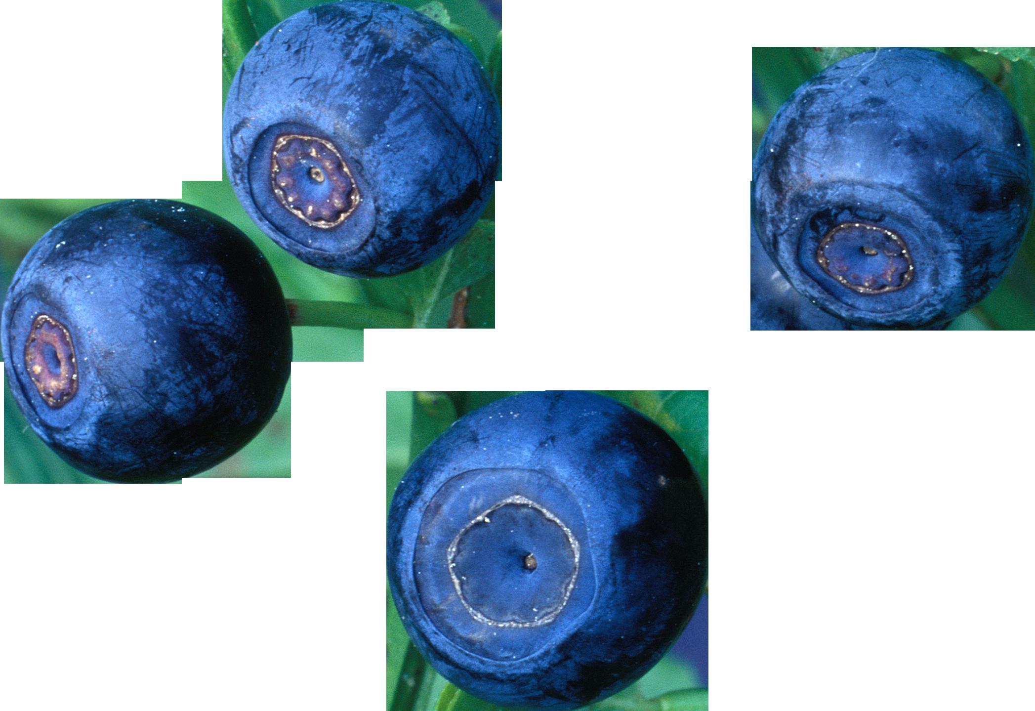 Bleuets PNG images Télécharger