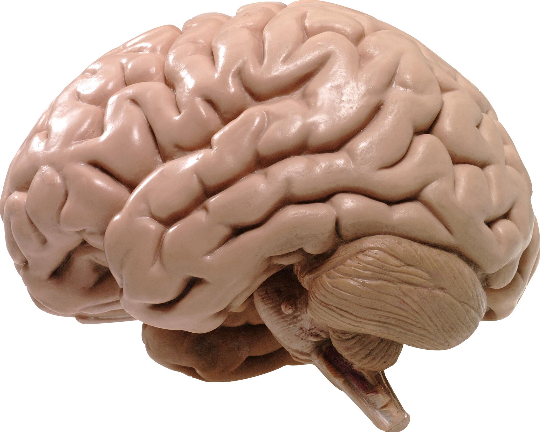 Мозг PNG