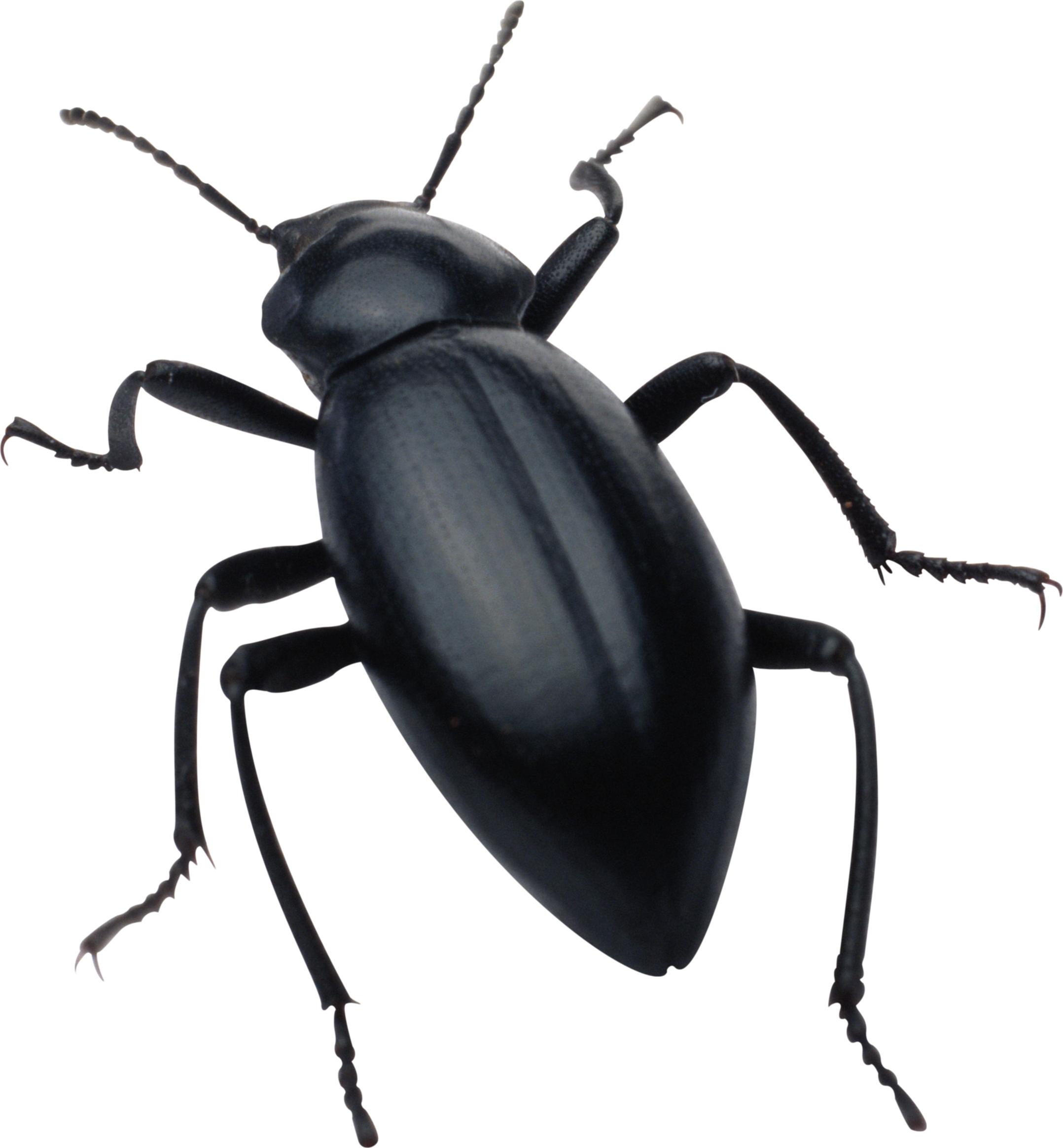 black bug PNG image