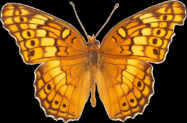 Бабочка PNG фото