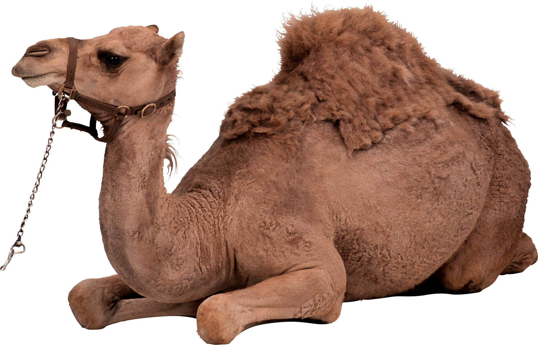 Верблюд PNG