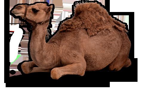 Camel PNG | 476 x 327 png 192kB