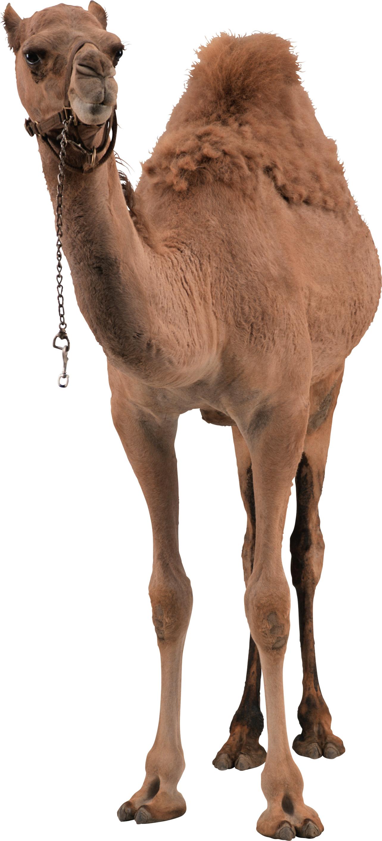 Camel PNG image