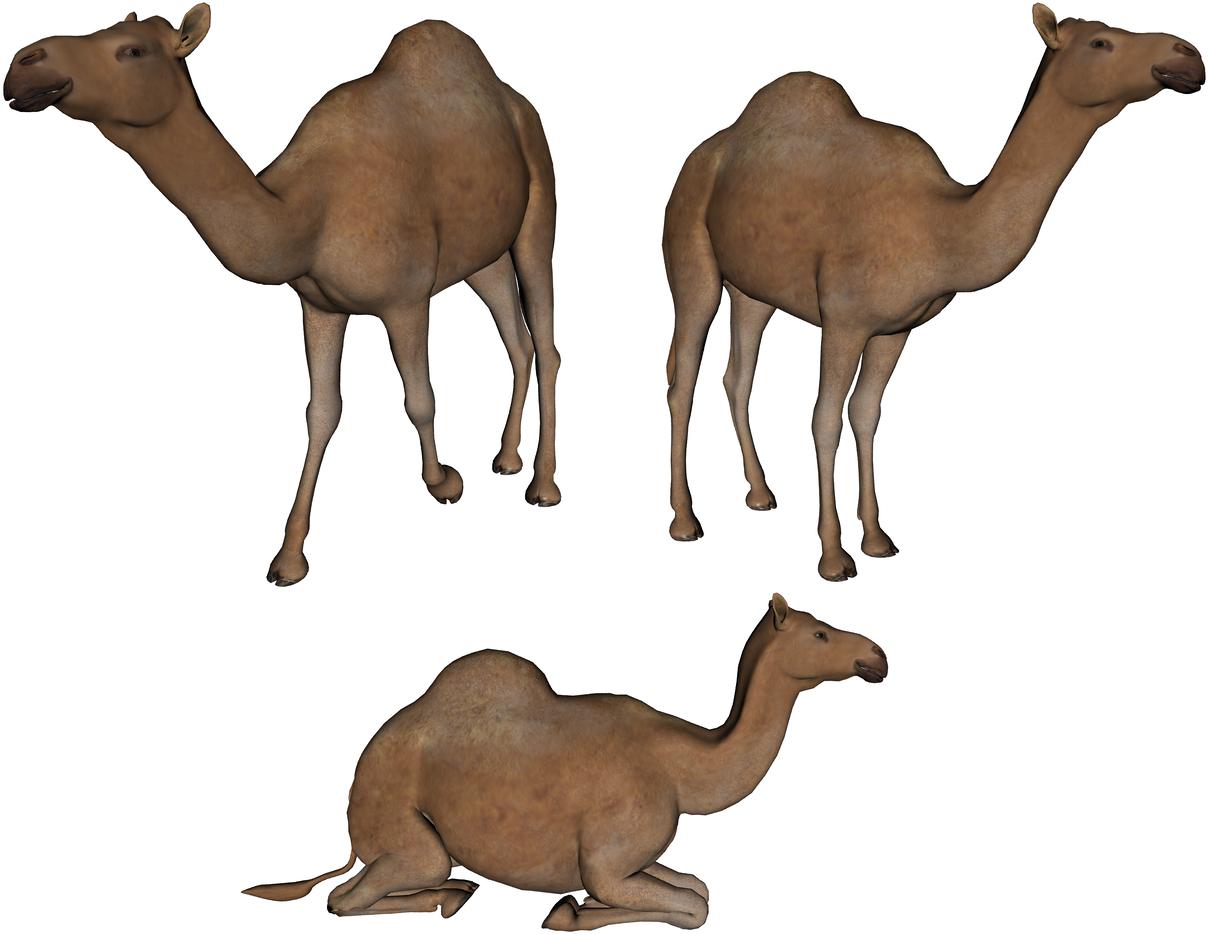 верблюды PNG фото