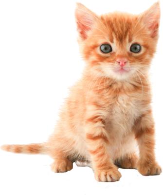 Кошка PNG фото