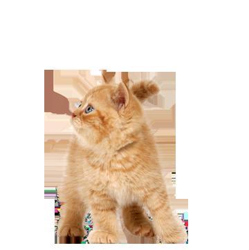 Рыжий котенок PNG фото
