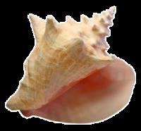 Ракушка PNG