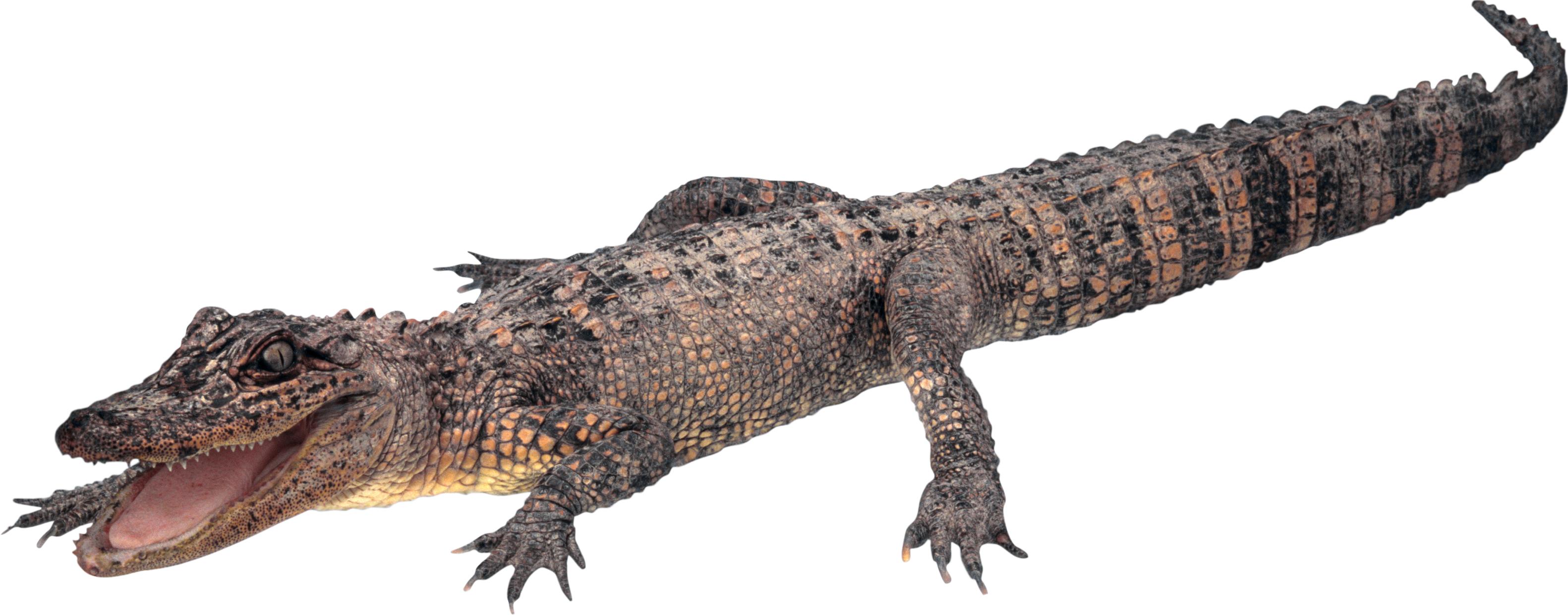 Crocodile, gator PNG