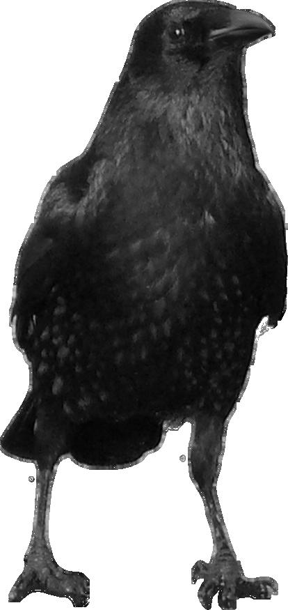Ворона PNG фото