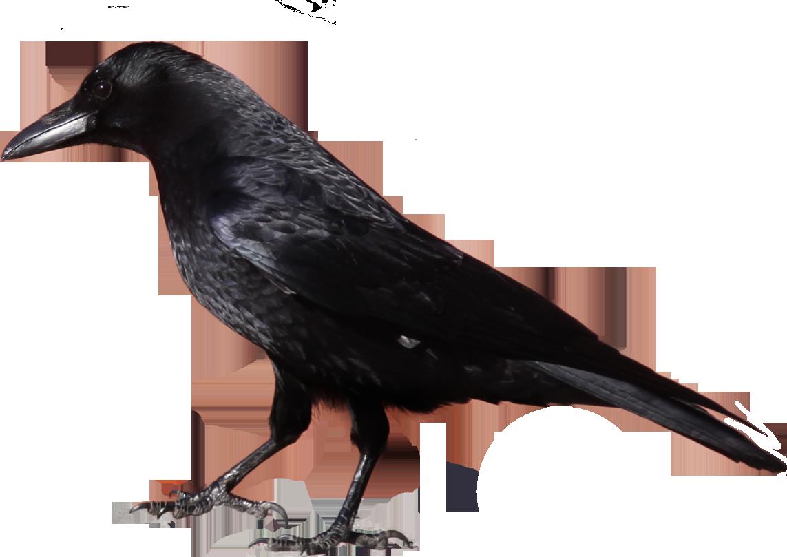 Black crow PNG image