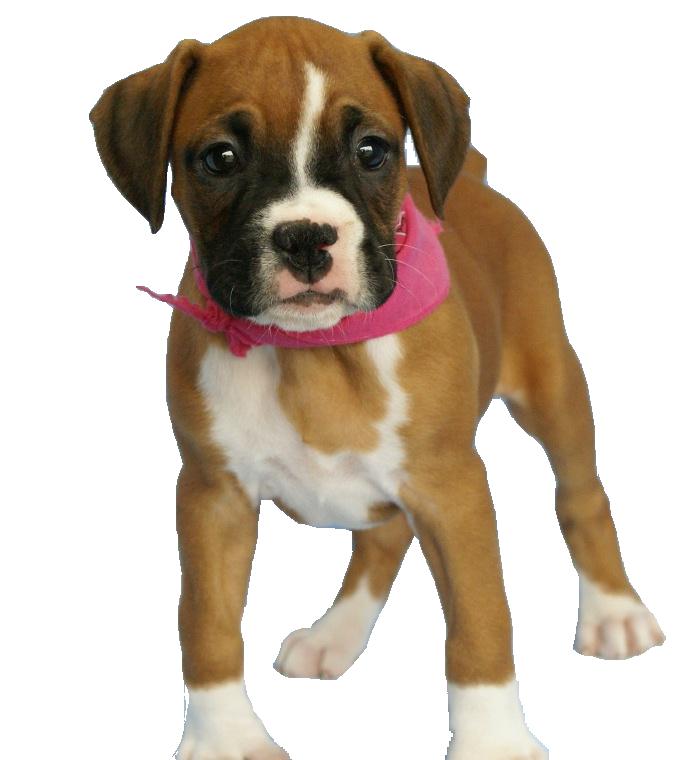 щенок боксера PNG фото