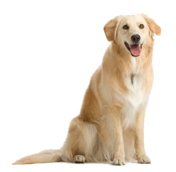 лабрадор собака PNG фото