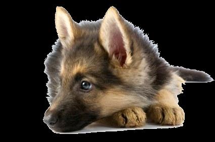 маленький щенок PNG фото