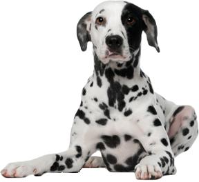долматинец собака PNG фото