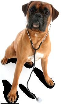 собака боксер PNG фото