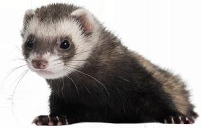 Ferret PNG images Download