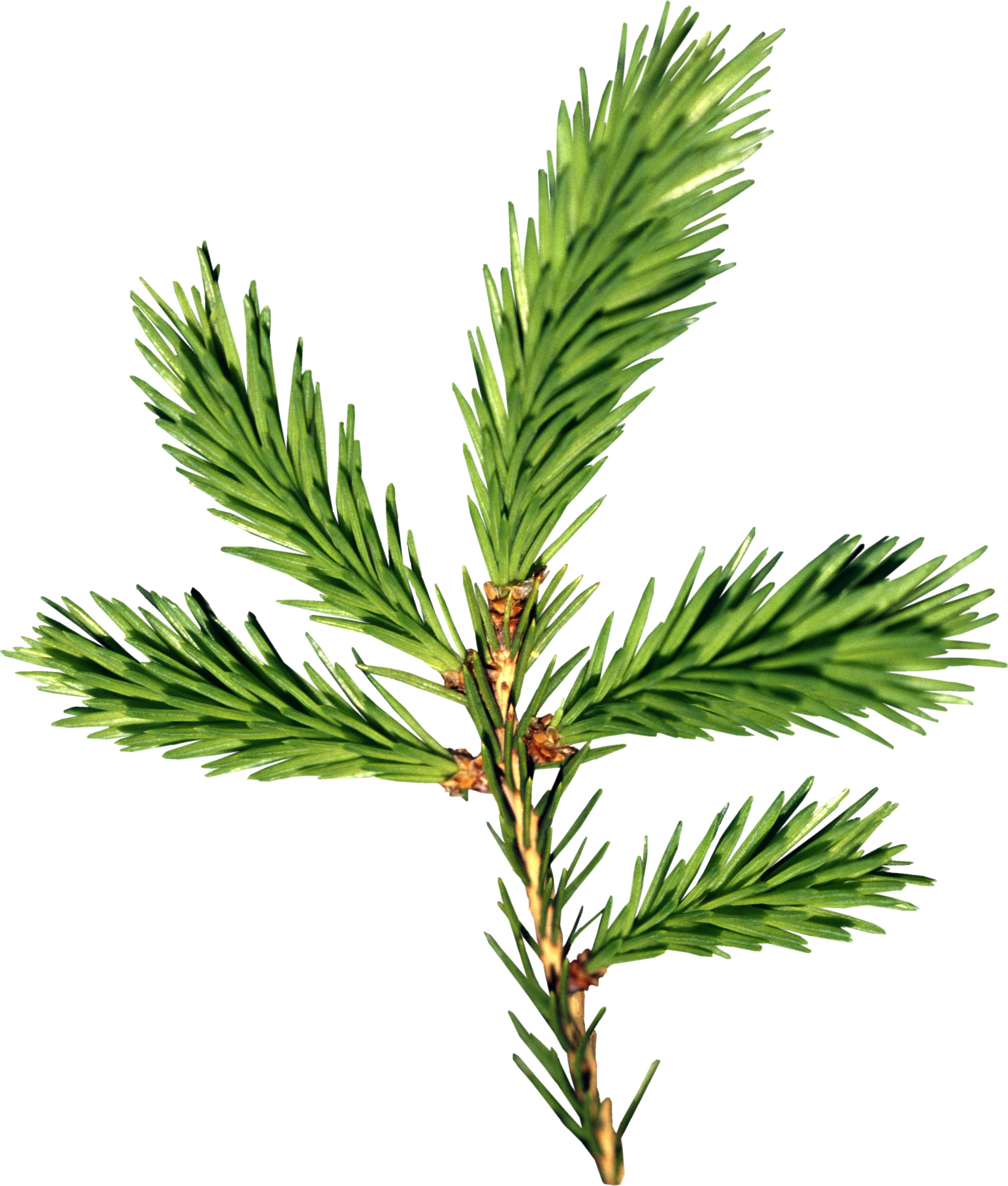 Ветка елки PNG фото