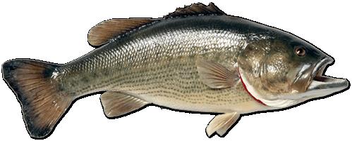 Рыба PNG фото