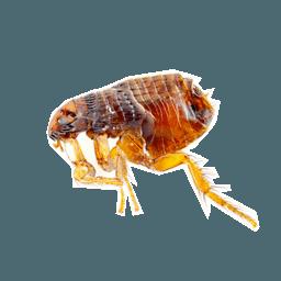 Блоха PNG