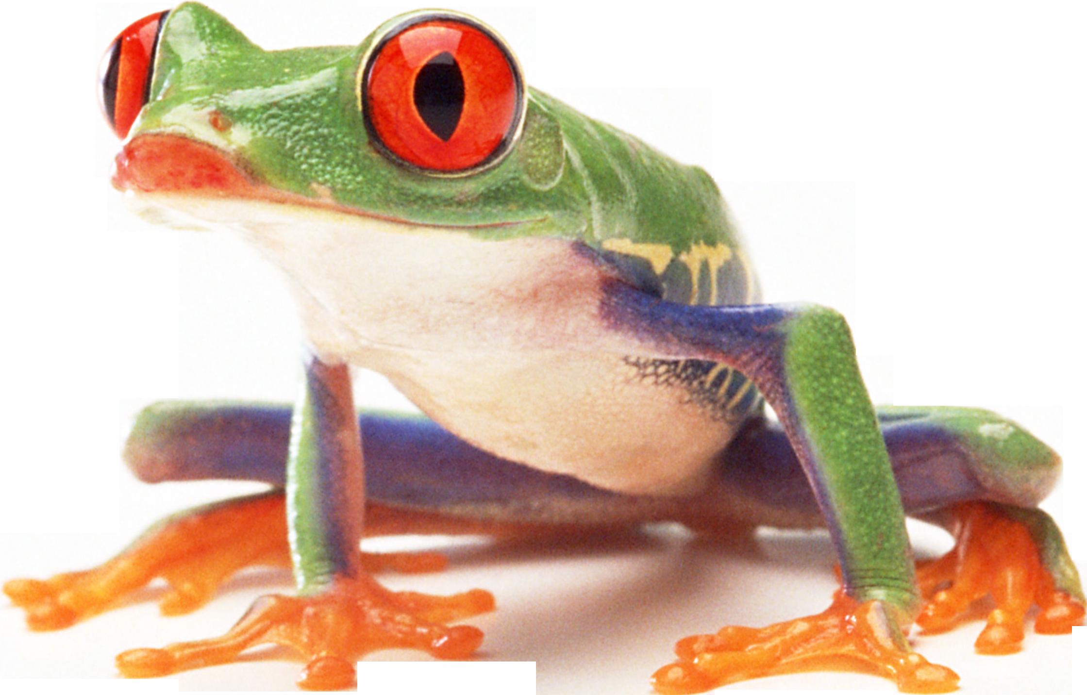 Лягушка PNG фото