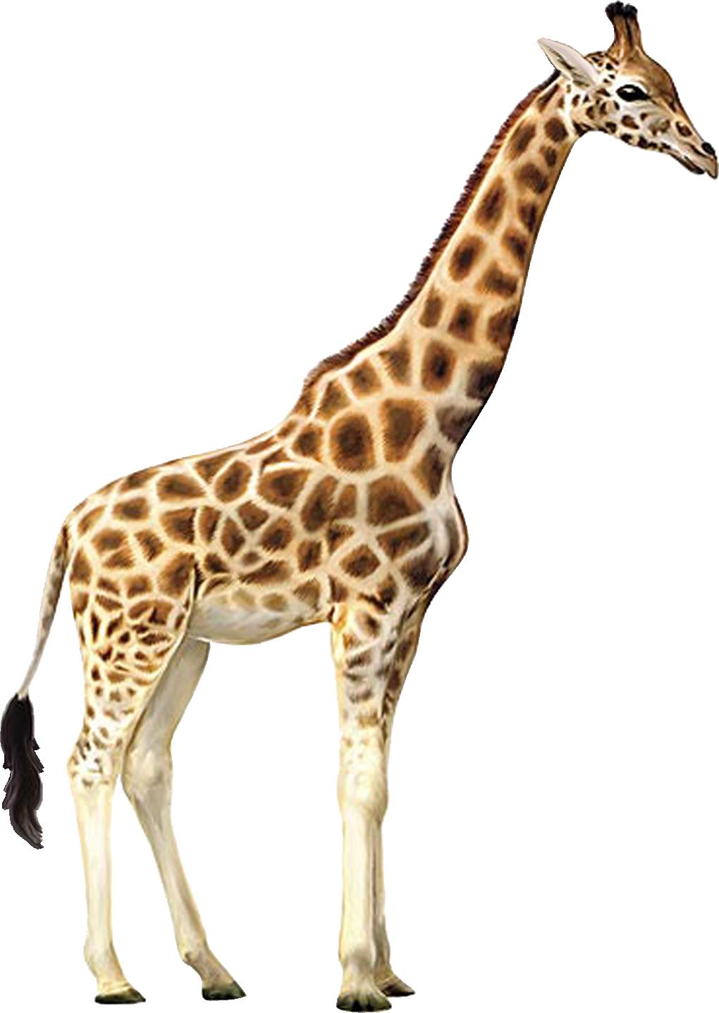 Жираф PNG