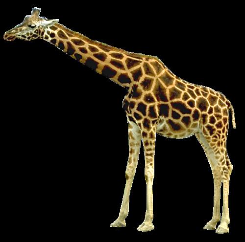 Giraffe PNG