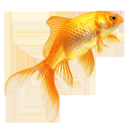 Золотая рыбка PNG