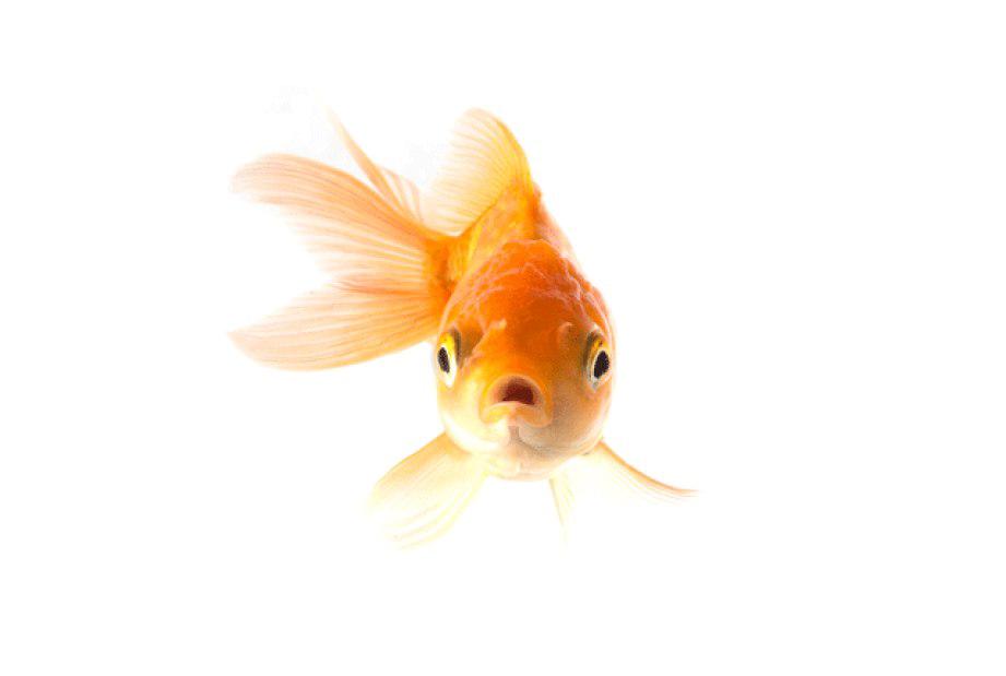 Goldfish PNG Images Free Download
