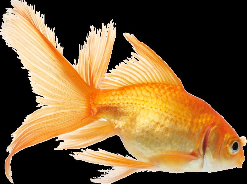 Goldfish PNG image free Download