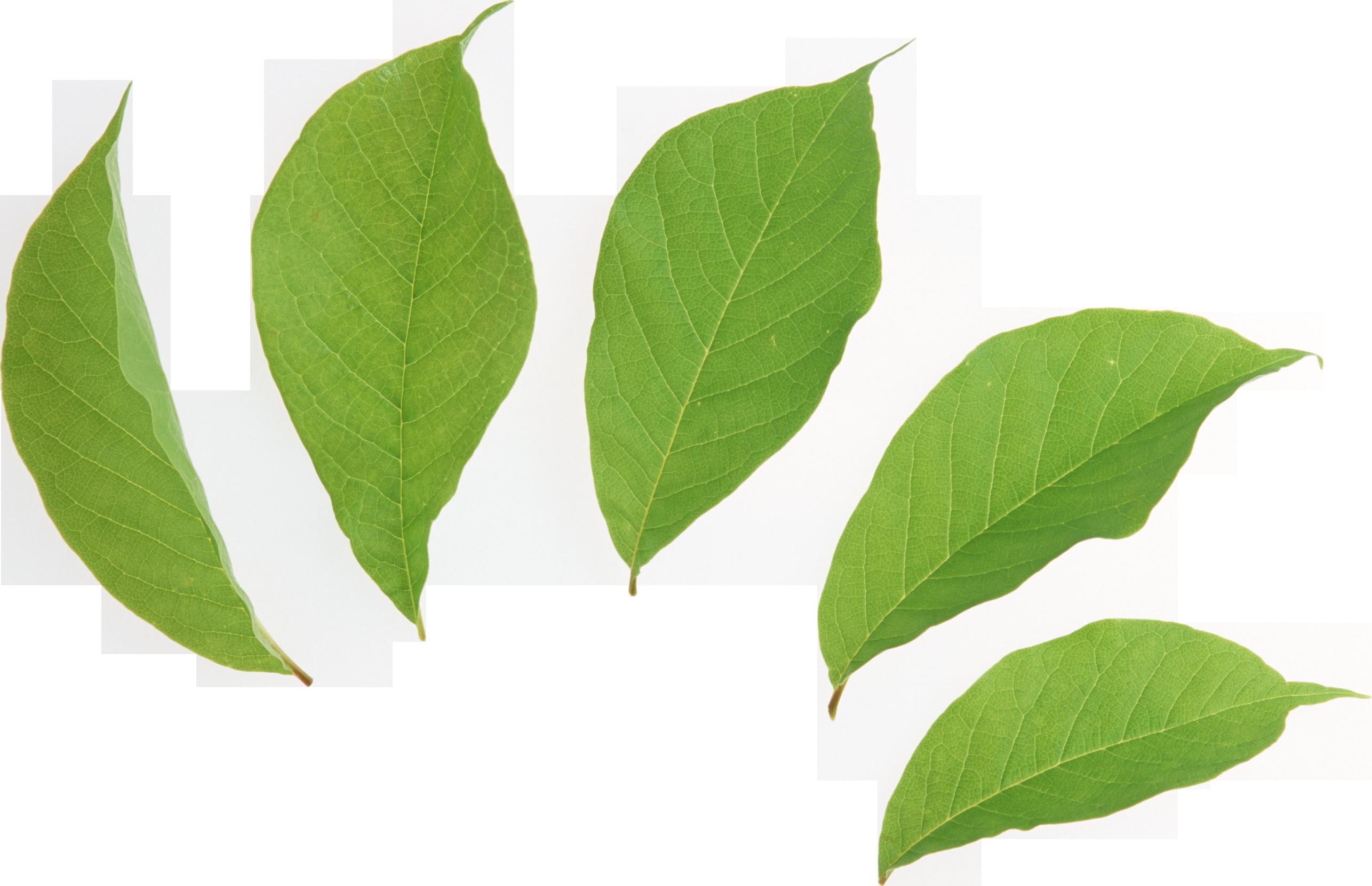 Зеленые листья PNG фото