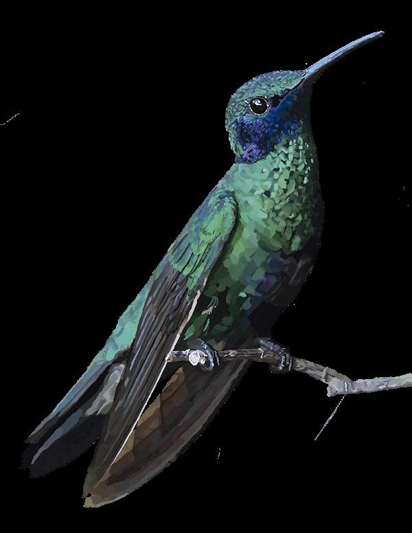 Колибри PNG
