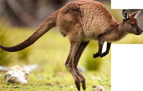 Кенгуру PNG
