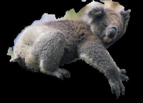 Коала PNG