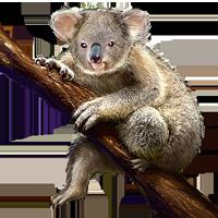 Koala PNG images