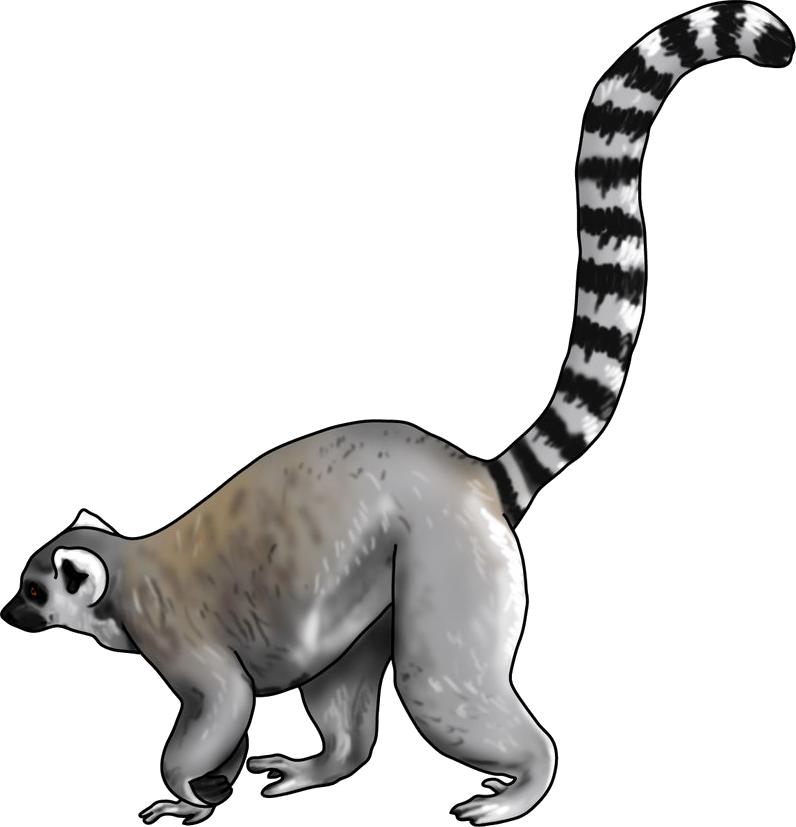 Lemur PNG images Download