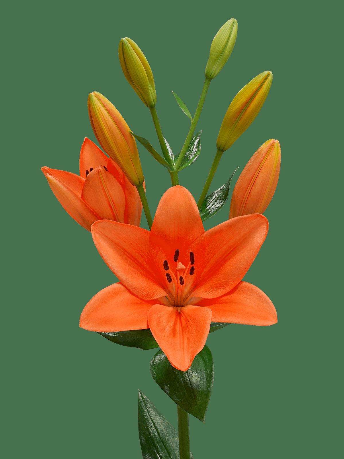 Лилия PNG