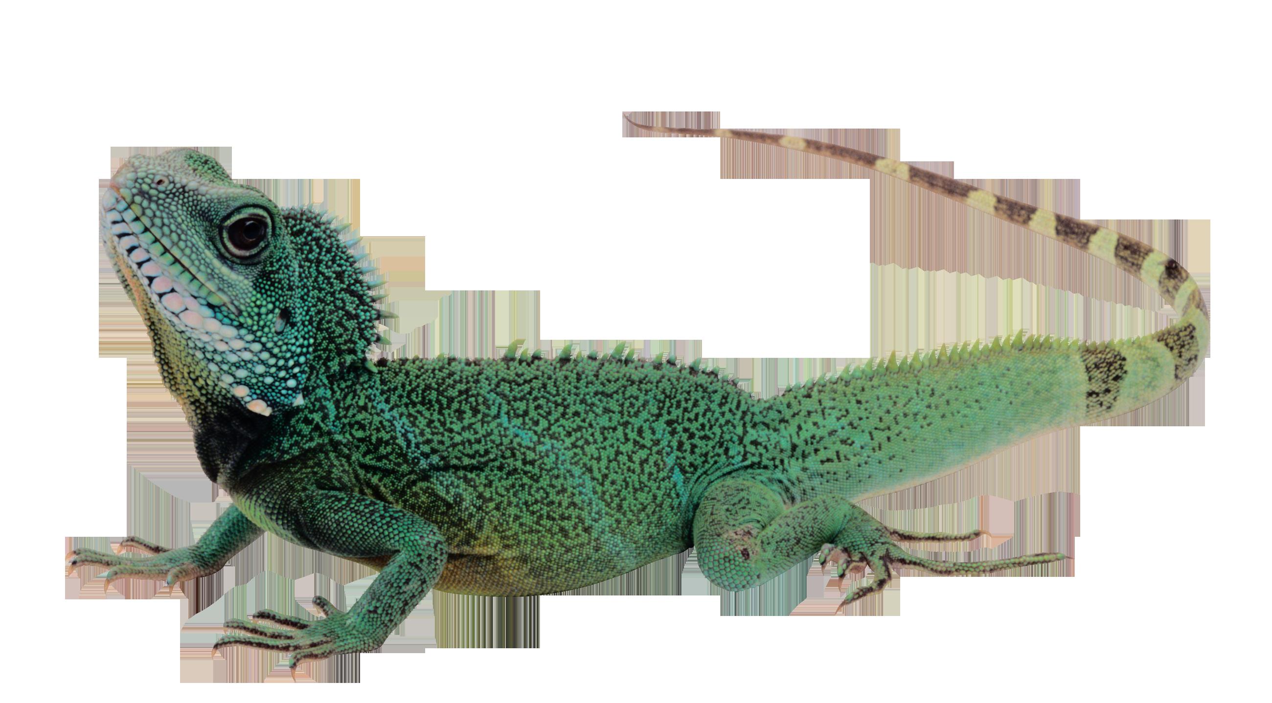 Ящерица PNG