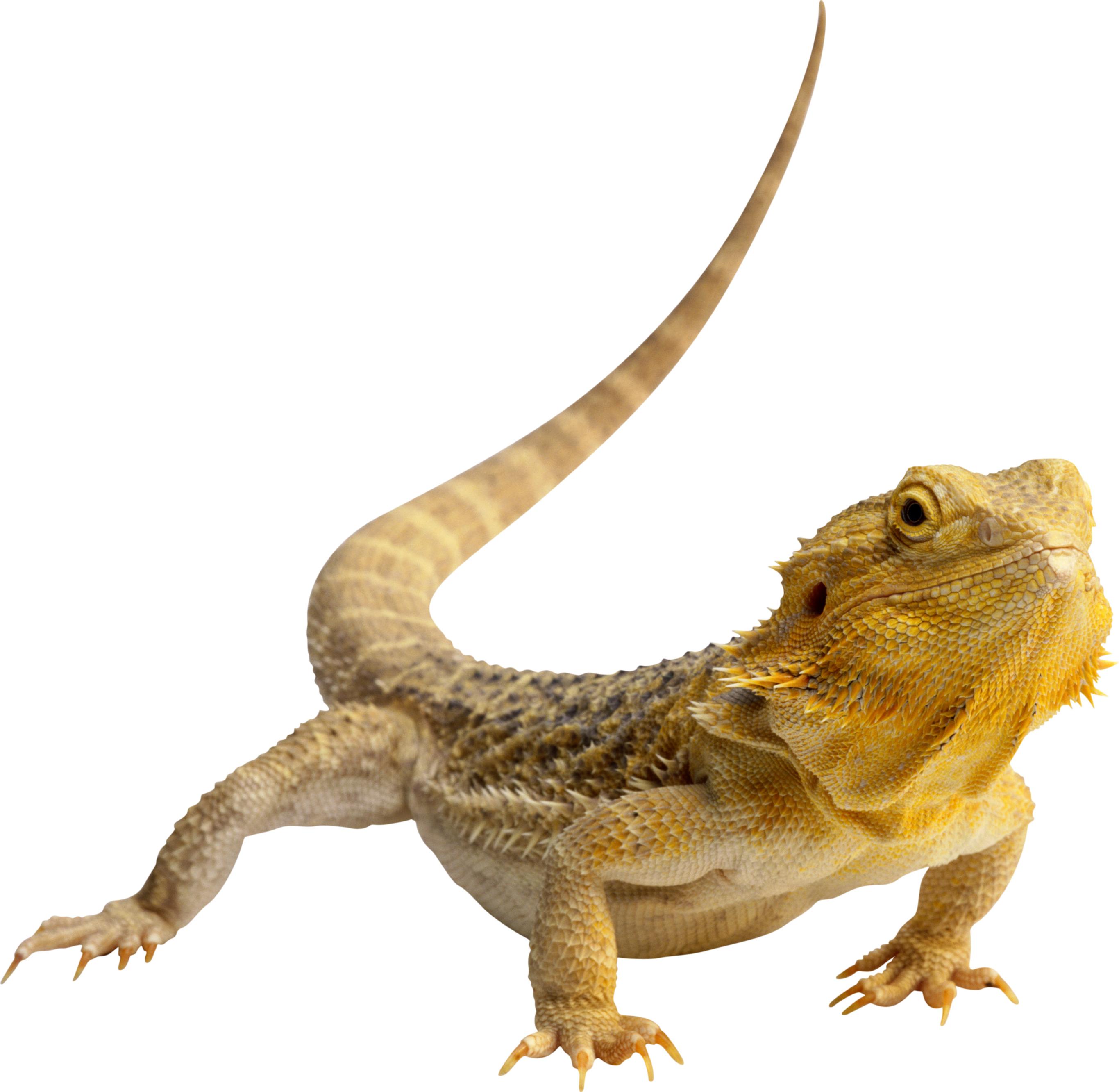Lizard PNG