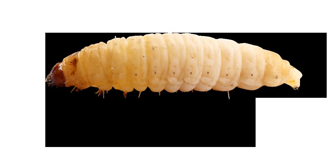 Maggots PNG images