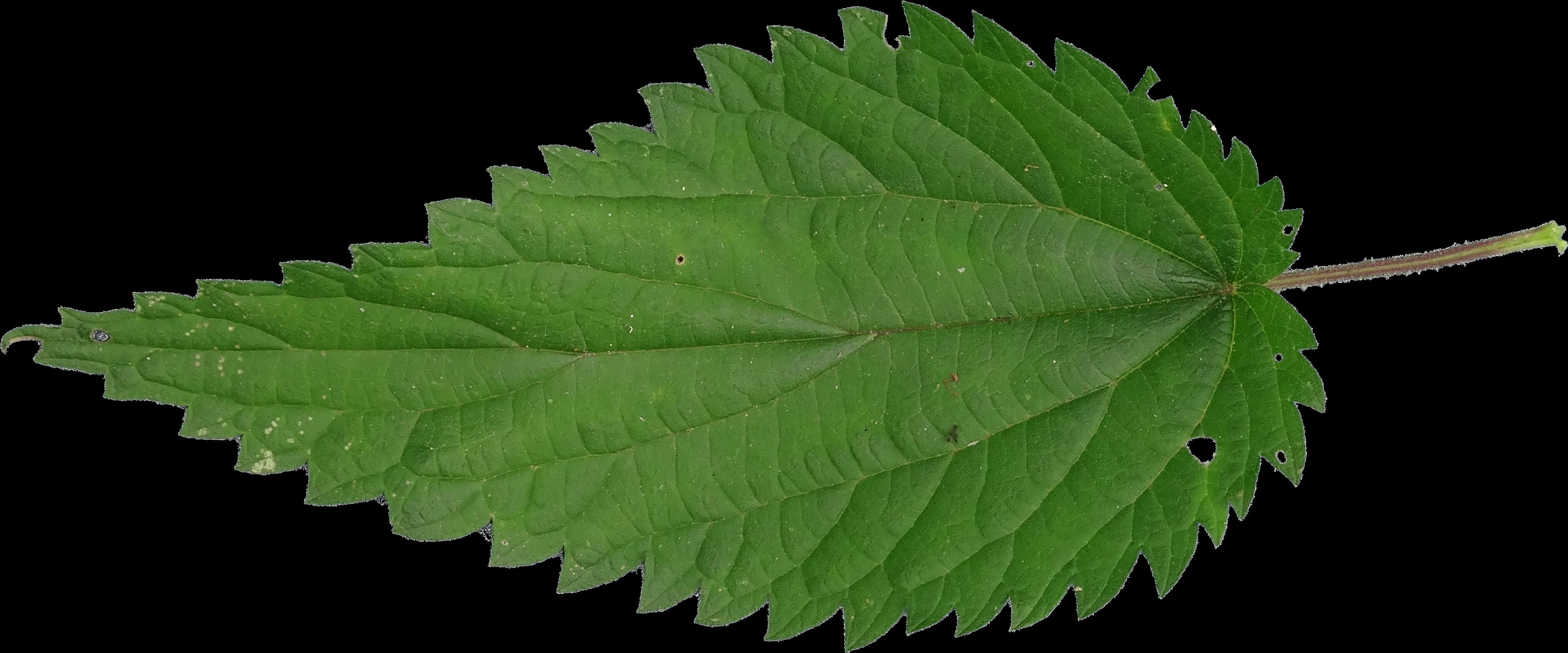 Крапива PNG