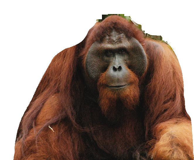 Орангутан PNG