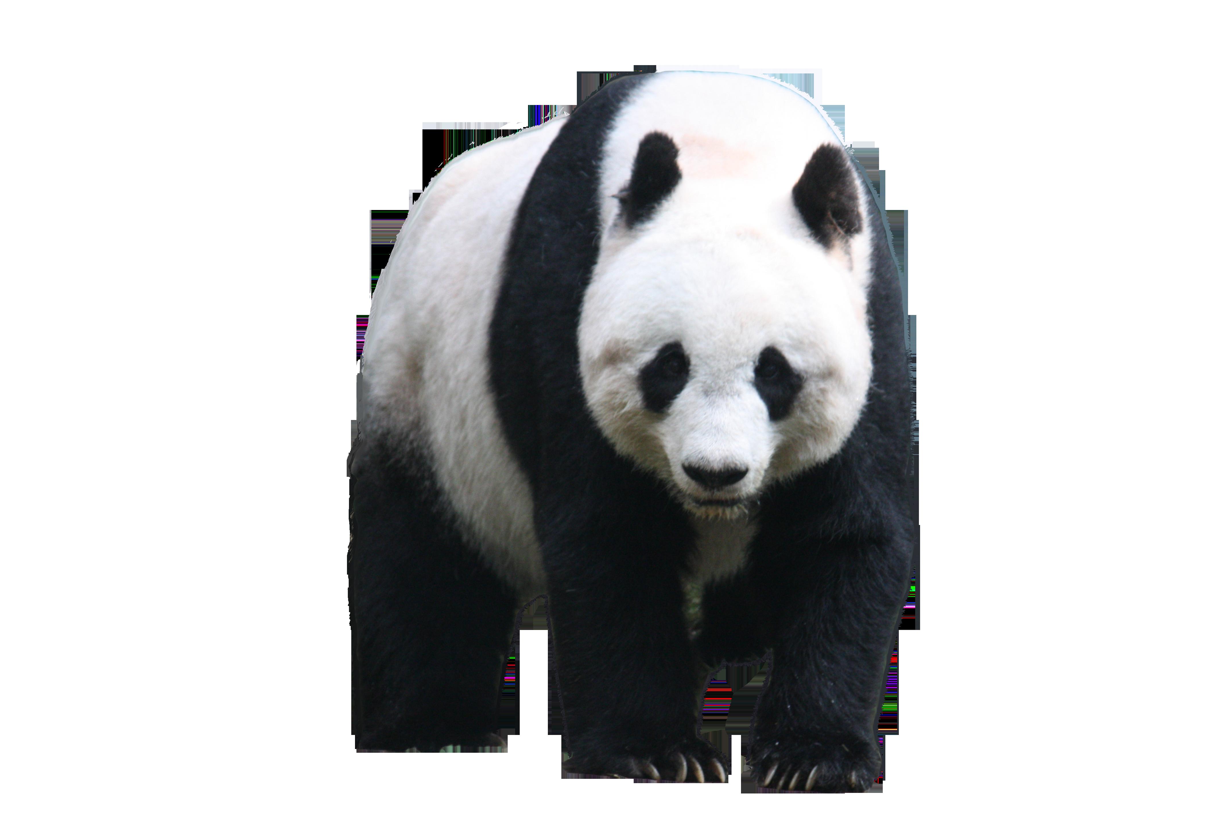 Панда PNG