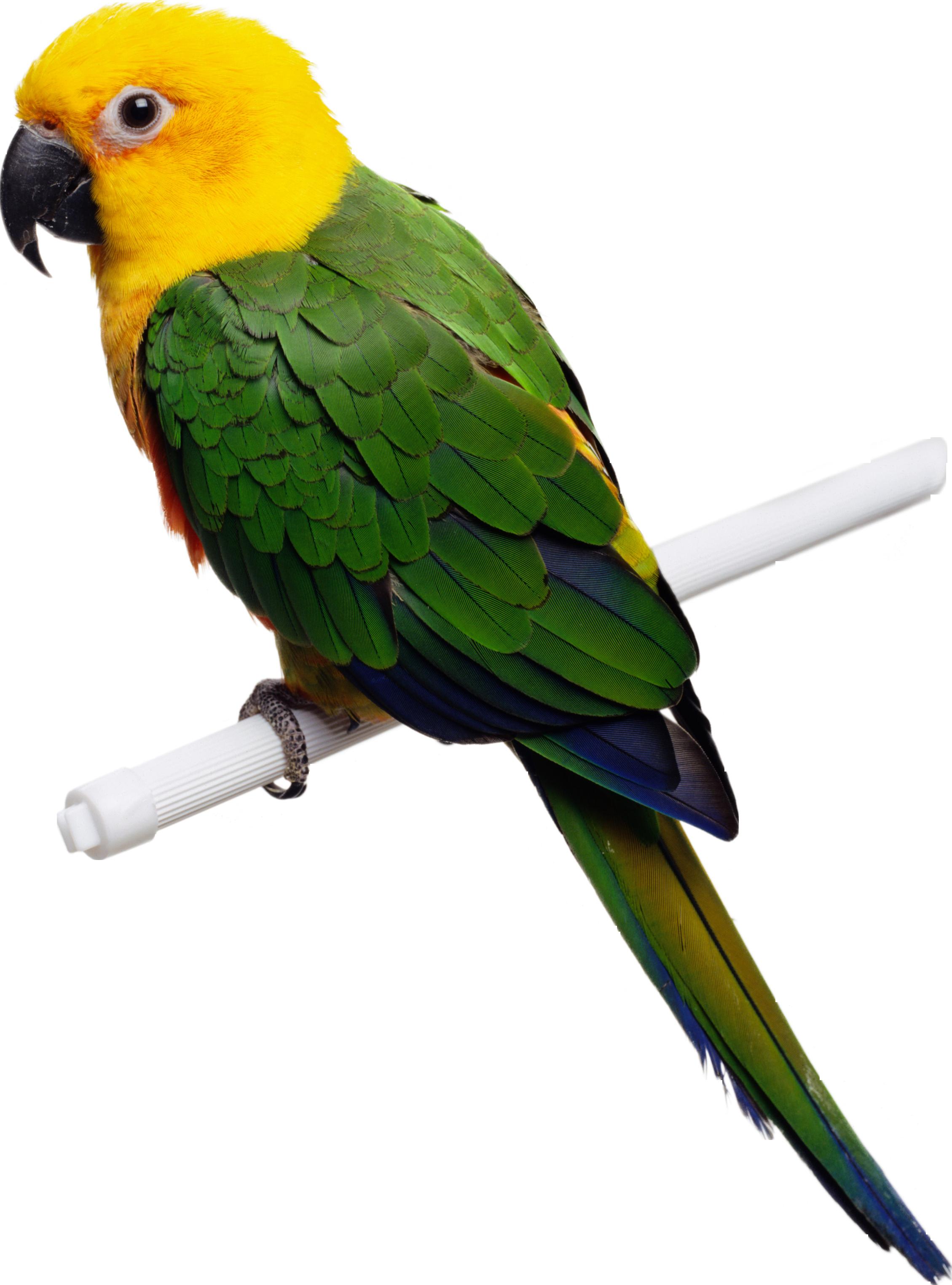 Попугай PNG фото
