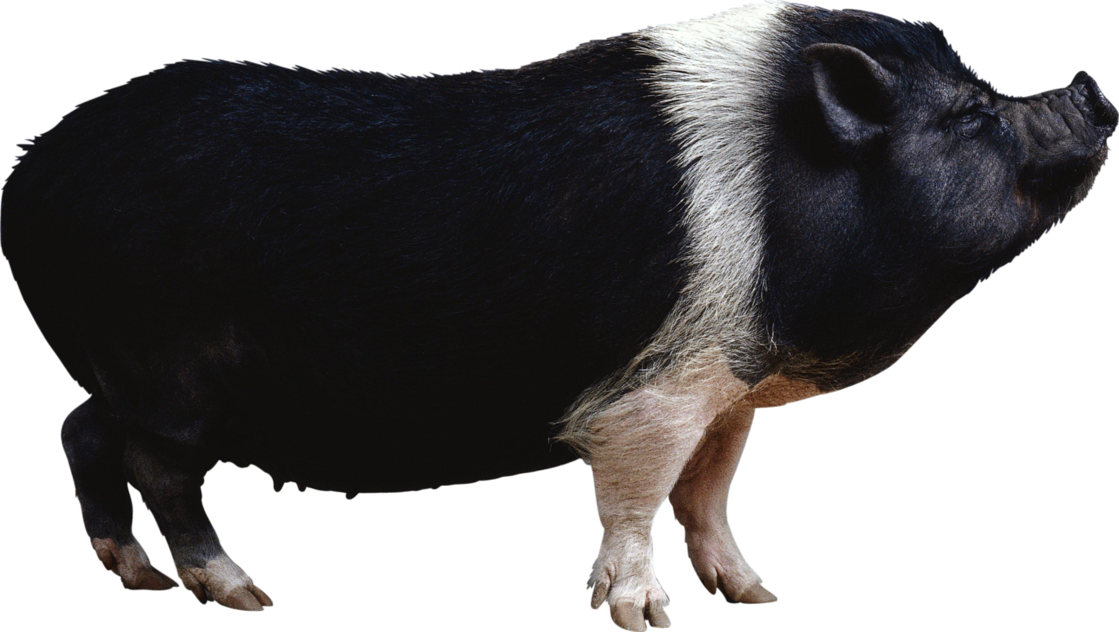 black pig PNG image